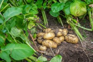 Nye-kartofler